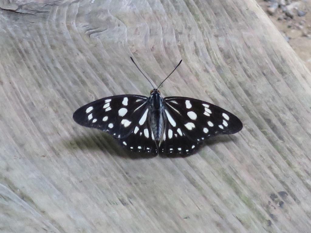 蝶々クローズアップ