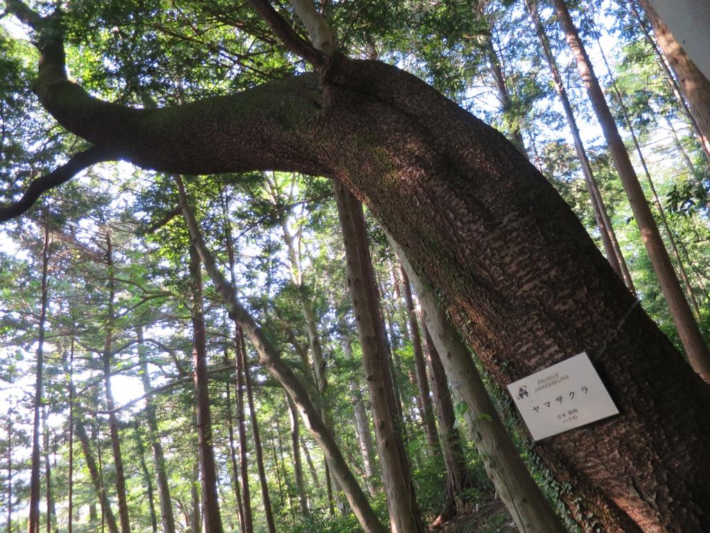 やまざくらの木
